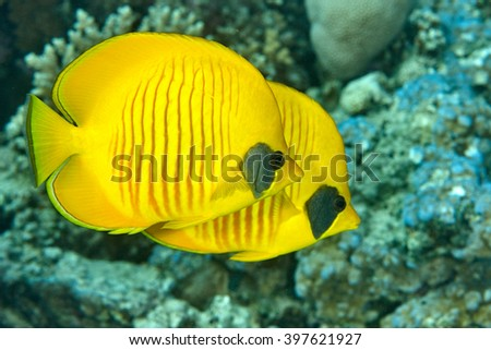 pair of butterfly fish floats near the stone - stock photo