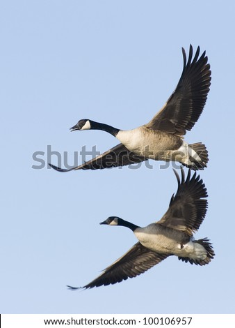 Pair of Canada Geese with same pose - stock photo