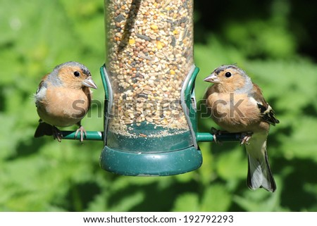 Pair of Chaffinch birds feeding two  - stock photo
