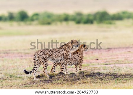 Pair of Cheetah looking out over the savannah - stock photo