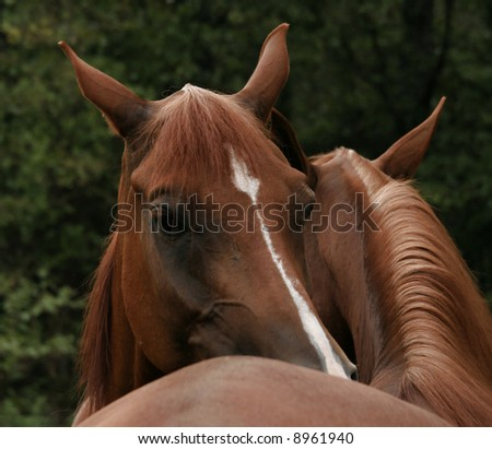 Pair of chestnut arabian grooming each other - stock photo