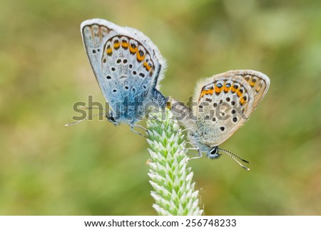 Pair of Common Blue (Polyommatus icarus) butterfly at reproductively motivated sexual behavior - stock photo