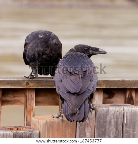 Pair of Common Ravens, Corvus corax, interact perched on wooden structure - stock photo