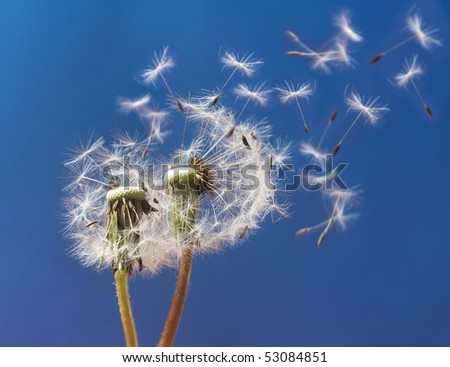 pair of dandelions in front of blue sky - stock photo