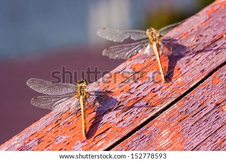 Pair of dragonflies on the wooden red surface - stock photo