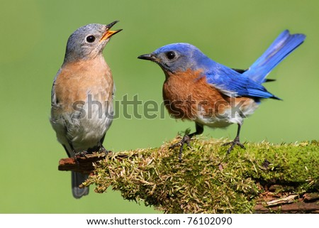Pair of Eastern Bluebird (Sialia sialis) on a log with moss - stock photo