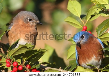 Pair of Eastern Bluebirds (Sialia sialis) perched in a holly bush - stock photo