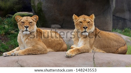 Pair of Female Lions keeping watch - stock photo