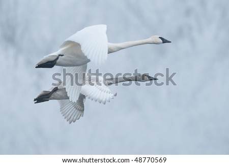 Pair of Flying Trumpeter Swans (Cygnus buccinator) - Pair of wild trumpeter swans come in for landing on frosty rivers in Minnesota - focus on far juvenile swan - stock photo