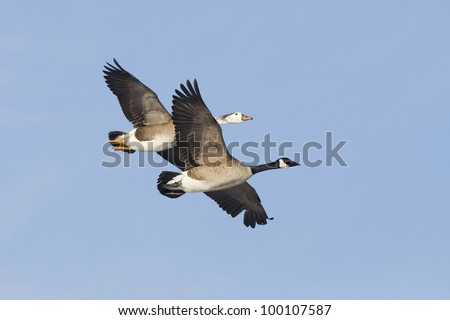 Pair of Geese Flying with Blue Sky Background - stock photo