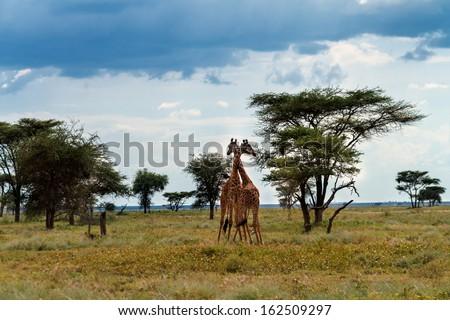 Pair of Giraffes in love in the wilderness of the Serengeti, Tanzania - stock photo