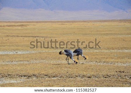 Pair of Grey-crowned Cranes grazing in the open in Tanzania, Africa. - stock photo