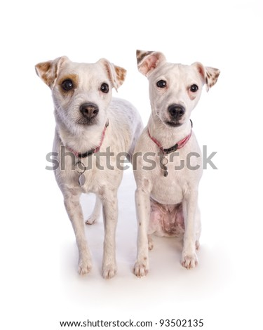 pair of jack russell dogs isolated on white - stock photo