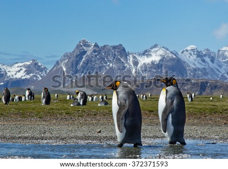 Pair of king penguins walking on the beach, with blue sky and rocky mountains in background, South Georgia Island, Antarctica - stock photo