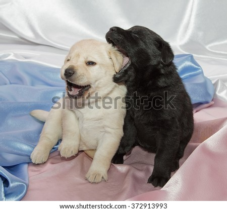 Pair of Labrador retriever puppies playing. - stock photo