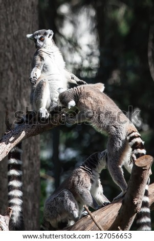 pair of lemurs sitting in a funny pose - stock photo