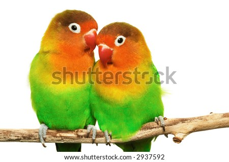 Pair of little lovebirds - stock photo