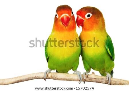 Pair of lovebirds agapornis-fischeri isolated on white - stock photo
