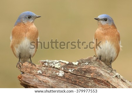 Pair of Male Eastern Bluebirds (Sialia sialis) on a branch with a green background - stock photo