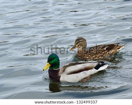 Pair of mallard ducks, - stock photo