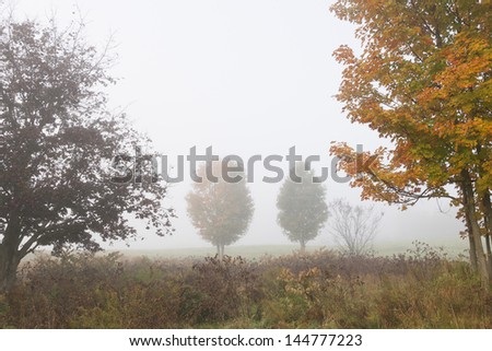 Pair of maple trees between two trees in early morning fog on an autumn morning, Stowe Vermont, USA - stock photo