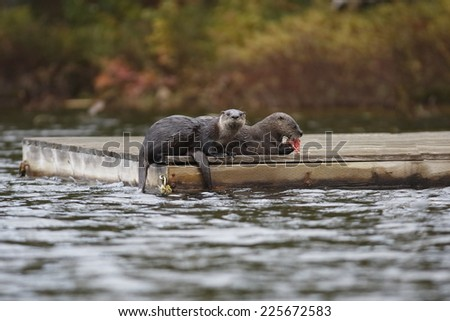 Pair of North American River Otters (Lontra canadensis) on a Dock - Haliburton, Ontario - stock photo