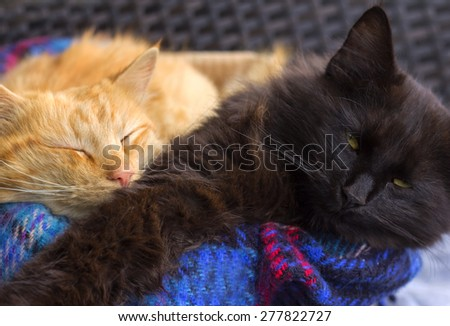 Pair of orange and black domestic cats. - stock photo