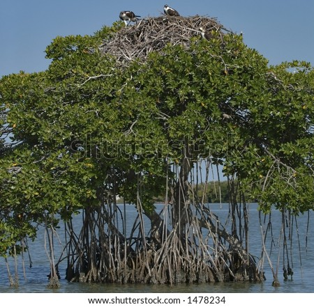 pair of ospreys at their nest in mangrove tree in florida bay, everglades national park,florida - stock photo
