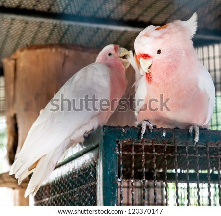 Pair of pink color Major mitchell's cockatoo in steel cage - stock photo