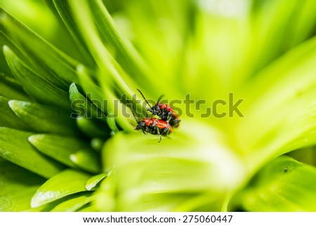 Pair of red beautiful scarlet lily beetles bugs mating on green plant leaves - stock photo