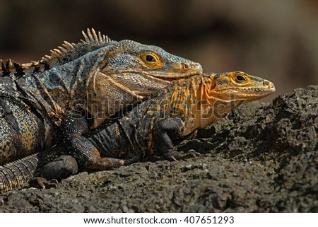 Pair of Reptiles, Black Iguana, Ctenosaura similis, male and female sitting on black stone, chewing to head, animal in the nature habitat, wildlife, Manuel Antonio national park, Costa Rica - stock photo
