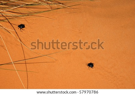 pair of scarabs in the dune - stock photo