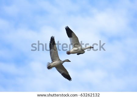 Pair of snow geese (Chen caerulescens) flying - stock photo