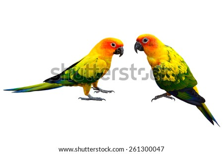 Pair of Sun Conure, the beautiful yellow parrot bird isolated on white background - stock photo