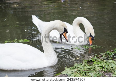 pair of swans eat in water - stock photo