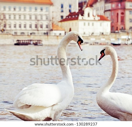 Pair of swans on a Vltava River in Prague,  Czech Republic . - stock photo