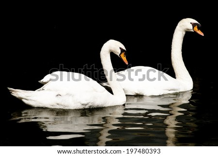 Pair of Swans on Black Background / Two Swans on Water, Reflected - stock photo