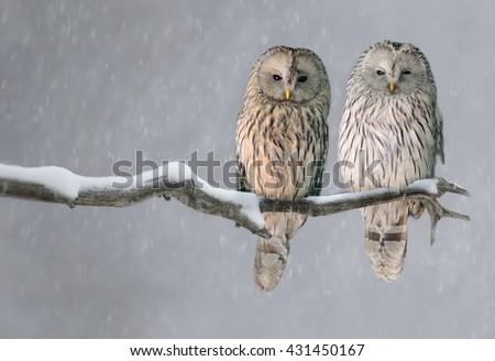 Pair of Ural owls sitting on branch (Strix uralensis) - stock photo