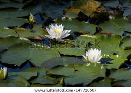 Pair of water lilies in Fernan Lake, Idaho. - stock photo