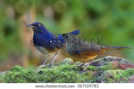 Pair of White-bellied Redstart (Hodgsonius phaenicuroides) the beautiful blue birds standing together on the mossy rock with nice green blur background, Sweet birds - stock photo