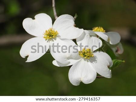 Pair of white flowers on blooming dogwood tree, cornus - stock photo