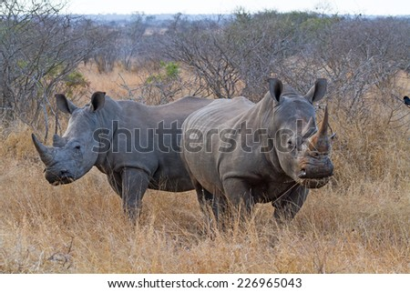 Pair of White Rhinos Grazing at Kruger National Park, South Africa - stock photo