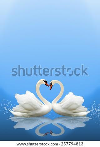 Pair of white swans. heart shape - stock photo