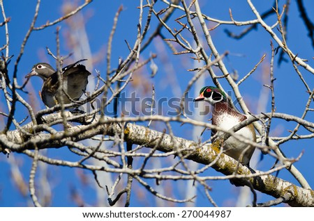 Pair of Wood Ducks Perched in a Tree - stock photo