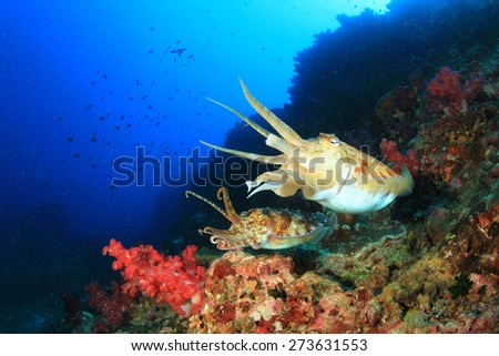 Pair Pharaoh Cuttlefish mating on coral reef - stock photo