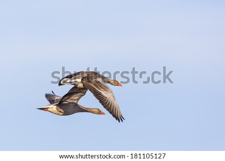 Pair with greylag geese flying against blue sky - stock photo
