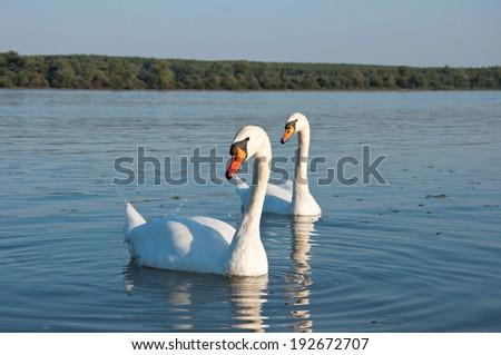 pairof swans - stock photo