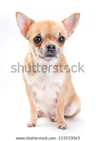 pale beige with white Chihuahua dog sitting on white background  - stock photo