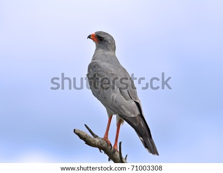 Pale Chanting goshawk (Melierax canorus) perched on a branch, Kruger National Park, South Africa - stock photo