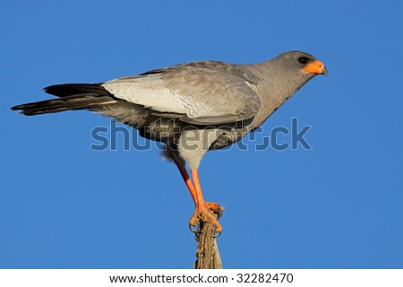 Pale Chanting goshawk (Melierax canorus) perched on a branch, South Africa - stock photo